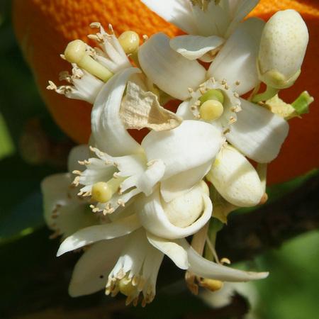 Orange_blossoms_1